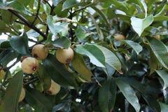 新鲜的绿色山竹果树 免版税库存照片