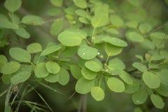 新鲜的绿色常春藤特写镜头叶子  免版税库存照片