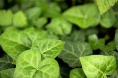 新鲜的绿色常春藤特写镜头叶子  免版税库存图片