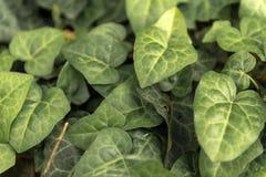 新鲜的绿色常春藤特写镜头叶子  免版税图库摄影