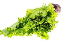 新鲜的绿色散叶莴苣,种植在小塑胶容器 免版税图库摄影