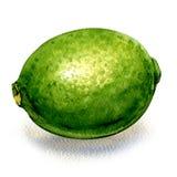 新鲜的绿色柑橘石灰,被隔绝的整个果子,在白色的水彩例证 皇族释放例证