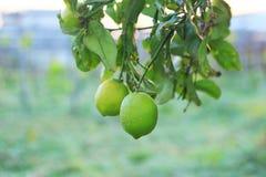 新鲜的绿色柠檬 库存照片