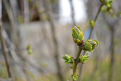 新鲜的绿色树芽 免版税库存照片