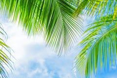 新鲜的绿色棕榈树叶子 免版税图库摄影