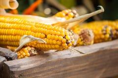 新鲜的黄色玉米菜 库存照片
