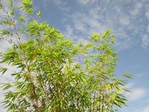新鲜的绿色竹叶子,反对蓝天 免版税图库摄影
