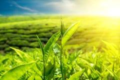 新鲜的绿色茶叶在日落天空下 免版税库存照片