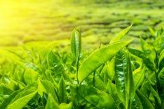 新鲜的绿色茶叶在日落天空下 库存照片
