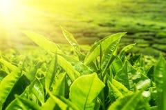 新鲜的绿色茶叶在日落天空下 库存图片
