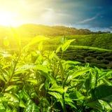 新鲜的绿色茶叶在日落天空下 图库摄影