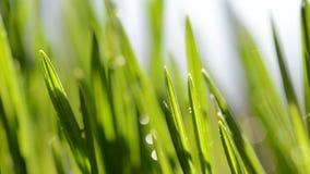 新鲜的绿色草叶在雨中 影视素材