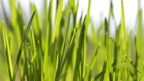 新鲜的绿色草叶在风的 股票录像