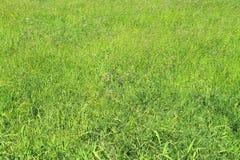 新鲜的绿色草地早熟禾 免版税库存图片