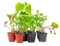 新鲜的绿色菜植物年轻幼木设置流程的 库存图片