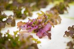 新鲜的紫色菜 库存照片