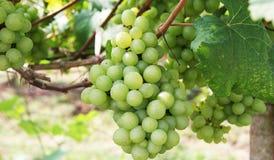 新鲜的绿色葡萄园 免版税库存照片