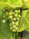 新鲜的绿色葡萄在庭院里 免版税图库摄影