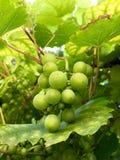 新鲜的绿色葡萄在庭院里 图库摄影