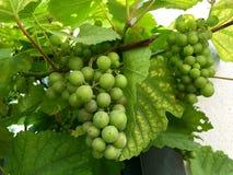 新鲜的绿色葡萄在庭院里 库存照片