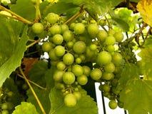 新鲜的绿色葡萄在庭院里 免版税库存照片