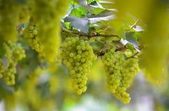 新鲜的绿色葡萄 免版税库存照片