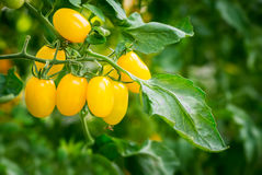 新鲜的黄色蕃茄 库存照片