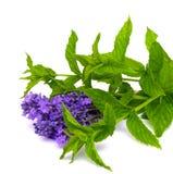 新鲜的绿色薄菏和淡紫色 库存图片