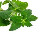 新鲜的绿色薄菏,在白色背景的香蜂草 免版税库存照片