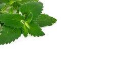 新鲜的绿色薄菏,在白色背景的香蜂草 库存照片