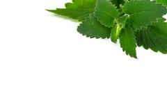 新鲜的绿色薄菏,在白色背景的香蜂草 图库摄影