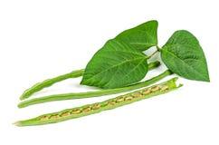 新鲜的绿色豇豆 图库摄影