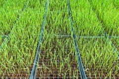 新鲜的绿色软质小麦,有机 库存照片