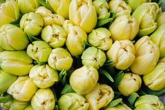 新鲜的黄色郁金香有绿色叶子自然春天背景 花纹理 免版税库存照片