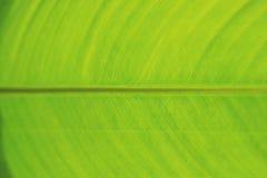 新鲜的绿色香蕉叶子背景特写镜头  库存照片