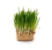 新鲜的绿色麦子幼木 免版税图库摄影