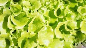 新鲜的绿色莴苣沙拉叶子  库存图片