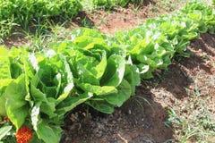 新鲜的绿色莴苣行  免版税库存照片