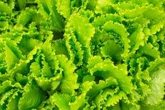 新鲜的绿色莴苣 免版税库存照片