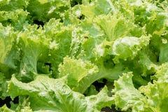 新鲜的绿色莴苣 免版税库存图片