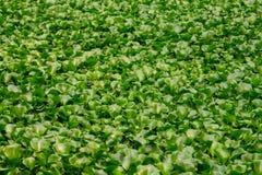 新鲜的绿色水草开花纹理 库存照片