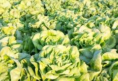 新鲜的莴苣植物行一个肥沃领域的,准备好被收获 免版税库存图片