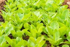 新鲜的莴苣植物行一个肥沃领域的 图库摄影