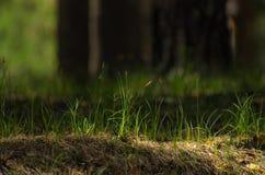 新鲜的绿草点燃了与明亮的太阳在森林里 图库摄影