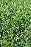 新鲜的年轻绿草草坪在春天在日出的秋天天 库存图片