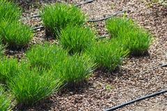 新鲜的绿草,浇灌的滴水的水管一束和榛子覆盖树根 库存照片