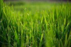 新鲜的绿草 免版税库存照片