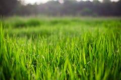 新鲜的绿草 库存图片