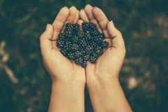 新鲜的黑黑莓在女孩` s手,顶视图上 库存图片