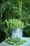 新鲜的绿豆特写镜头视图在一个小金属桶的在自然的蓝色木背景 库存照片